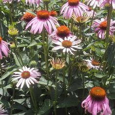 Echinacea blessing my medicine wheel garden with her beautiful presence.  Medicine Wheel, Blessing, Herbalism, Yard, Moon, Plants, Etsy, Vintage, Beautiful