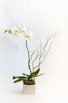 """A silver cube with a 6"""" pot phalaenopsis orchid plant accented with curly willow tips. From Petal's Edge Floral Design via @BloompopHQ"""