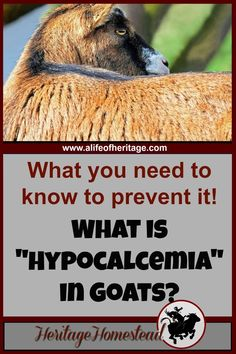 Hypocalcemia in goats is very serious. It can be prevented. A goat owner should do everything in their power to give their goat everything they need