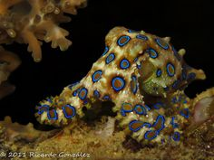 Blue ringed octopus - pretty poisonous.