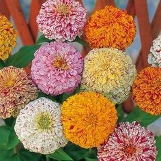 Peppermint Stick Zinnias striped and splashed in many bright colors.