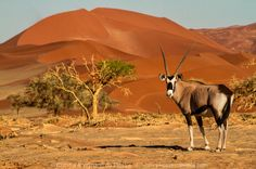 Gemsbok in the Namib Desert near Sossusvlei - Namibia Landscape Sketch, Landscape Photos, Namib Desert, African Safari, Landscape Photographers, Nature Photos, Beautiful Creatures, Fine Art Prints, Photo Galleries