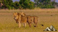 Okavango brothers 🦁 in Botswana. Nature Pictures, Animal Pictures, African Cats, Natgeo Your Shot, Wildlife Photography, Big Cats, Lions, Van, Animals