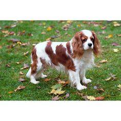 Cavalier King Charles Spaniel size: small exercise: medium grooming: medium trainability: very easy #dogs #animal #king #charles