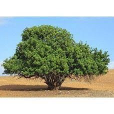 بذور شجرة الخروب شجرة ظل دائمة الخضرة تتكيف مع درجات الحرارة المرتفعة القصوى وندرة المياه الخروب بديل جيد للقهوة والشوكولاتة ويمتاز عنهما بكونه لا يحتو Plants