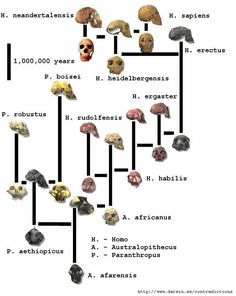 A list of some of the most significant discoveries in human evolution in Another very bad year for creationism. Human Evolution Tree, Hominid Species, Historia Universal, Theory Of Evolution, Early Humans, Forensic Anthropology, Anthropologie, Skull And Bones, Bronze Age