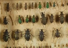 Explore countless fossils, models and specimen jars at the University Museum of Zoology, including Charles Darwin's fascinating collections. Insect Anatomy, Darwin Theory, City Of Cambridge, Origin Of Species, 100 Things To Do, Natural Selection, Exhibition Display, Charles Darwin, Zoology
