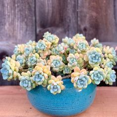 Detailed information about the Sedum clavatum and how it should be cared for and propagated. Learn how to water the succulent correctly. Types Of Succulents, Succulents In Containers, Types Of Flowers, Cacti And Succulents, Planting Succulents, Cactus Plants, Planting Flowers, Succulent Gardening, Succulent Pots