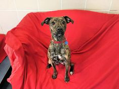 Eva  10 month old female Staffordshire Bull Terrier cross Whippet #cutedogs #cute #dogs #dog #pets #babblepets