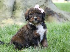 #Cute, Cuddly...🥰🐾🌸 and so #Lovable! From their tiny button noses, to their soft fluffy coats, these cute #Bernedoodle puppies will be sure to melt your heart. #LancasterPuppies www.LancasterPuppies.com Bernadoodle Puppy, Puppy Quotes, Button Nose, Lancaster Puppies, Group Of Dogs, Fluffy Coat, Mixed Breed, Mountain Dogs, Puppies For Sale
