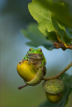 The frog and the acorn