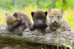 Three little wolf pups! This one I love. Wolves and bears - my favorites. Especially in threes.