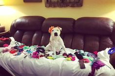 A sweet Pitbull named Abigail was rescued from her life as a bait dog, and people all over the world are sending her hats-ful of love!