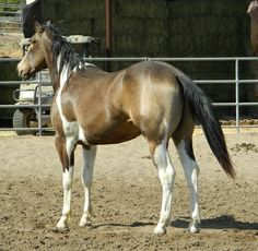 Buckskin Paint Horses | Flashy Buckskin Paint Gelding for sale in Simi valley, California ...