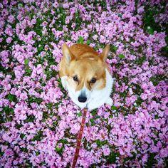 Today's hug. #dog #corgi #sakura #momohug #morinoki