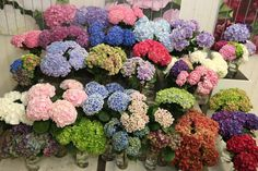 #Hydreangea #Hortensia Assorted; All Available at www.barendsen.nl