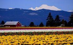 Skagit Valley tulip fields...