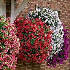 Петуния всё больше завоёвывает сердца огородников и цветоводов.   Дачный сад и огород