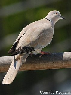 Collared Dove By Conrado Requena