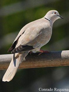 Collared Dove By Conrado Requena