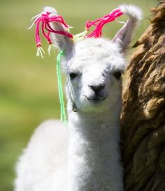 Bleating Heart: The 7 Most Adorable Baby Llamas and Alpacas You've Ever Seen Baby Llama, Cute Llama, Alpacas, Llama Facts, Llama Pictures, Llama Alpaca, Cute Animal Videos, Animals Images, Cute Baby Animals