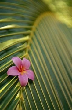 Close-Up Angled View Of One Pink Plumeria On Coconut Palm Leaf, Selective Focus