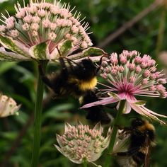 Bumbblebees