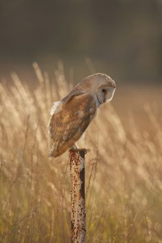 A barn owl doing what it does best - being adorable.