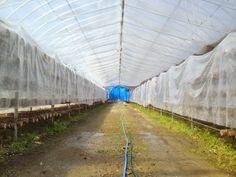 #Greenhouse of the #Shiitake #Mushrooms