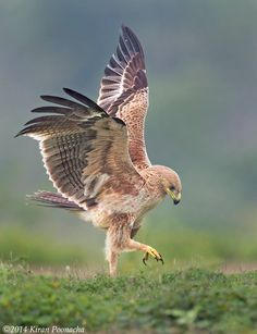 The Dancing Eagle | This Tawny Eagle was in a mood to dance and I did not miss out having my fun too :)