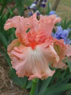 TB #Iris '#Guardian #Angel'    http://www.roanokemyhomesweethome.com