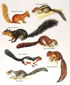 European Red Squirrel, Indian Striped Squirrel, African Giant Squirrel, African Palm Squirrel, Grey Squirrel, Prevost's Squirrel........clockwise from upper left corner....via My Sunshine Vintage on ETSY