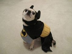 Dog who is the hero he thinks we deserve. | 35 Dogs That Will Make Your Day Instantly Better