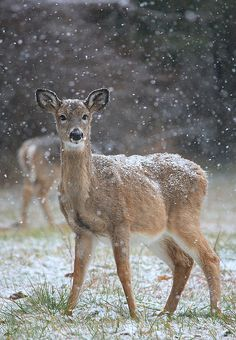 Deer on a Snowy Day