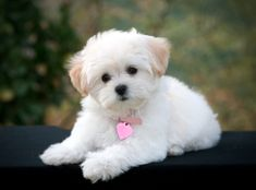 poodle mixes | All About the Maltese Poodle Mix