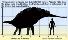 Wuerhosaurus was fairly big for a stegosaur and is known from both China and Mongolia.
