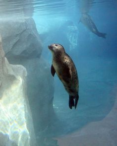 Harbor seals swim in their new home at Hogle Zoo. See the seals introduced to their habitat tonight at 10 on KSL. Types Of Animals, Cute Animals, Harbor Seal, Space Drawings, Marine Life, Dolphins, Habitats, Cute Pictures, Whale