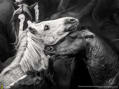 """""""Wild Horses"""" Javier Arcenillas This intense photo was captured during a festival called Galicia, Rapa das Bestas, or """"Shearing of the Beasts."""""""