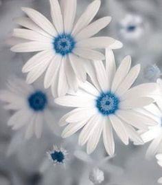 blue daisy...w o w