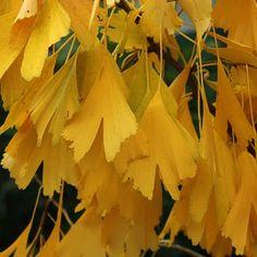 Ginkgo biloba _ Maidenhair Tree