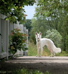 Silken Windhound thought to be a combination of Whippet, Borzoi, and Sheltie.  Definitely in my future.