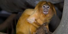 glarravi on twitter   National Zoo @NationalZoo 16h16 hours ago  🐵🏅Golden lion tamarins are like expert arboreal gymnasts of the Brazilian rainforest. #WeSaveSpecies #Rio2016