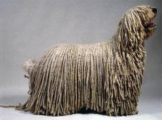 Самые необычные собаки. Комондор фото