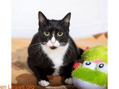 """Gatos en adopción  España  Las Palmas - Gran Canaria  Las Palmas G.C. March 07 2018 at 07:14PM   Pancho EN ADOPCIÓN  #ADOPCIÓN  Contacto y Info: https://leales.org/animales-en-adopcion/gatos-en-adopcion/pancho-en-adopcion_i3633 #Difunde en #LealesOrg un #adopta y sé #acogida para #AdoptaNoCompres O un #SeBusca de #perro o #gatos; #perdido o #encontrado ℹ Pancho fue rescatado de la calle por la zona de Escaleritas cuando solo tenía 4 meses de edad nadie lo quiere porque es """"muy negro""""…"""