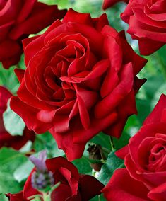 Bush Rose 'Dame de Coeur' | 99p shop LB March 2015