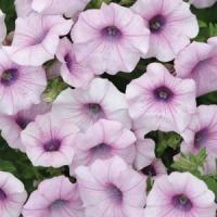 25 Pelleted Petunia Seeds Shock Wave Pink Vein by nurseryseeds Annual Flowers, All Flowers, Beautiful Flowers, Beautiful Things, Purple Flowers, Herb Seeds, Garden Seeds, Planting Bulbs, Planting Flowers