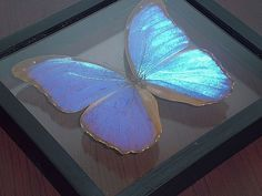 The Giant Blue Morpho Butterfly Morpho didius Double by BugsDirect, £59.99