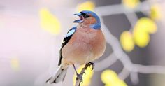 Researchers find the sounds of the city can make it hard for some songbirds to raise chicks.