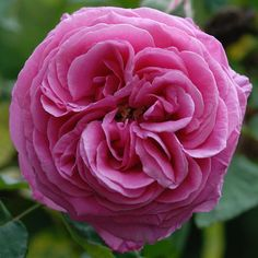Bourbon Rose Madame Isaac Perriere by Gary Mattingly #Flowers #Bourbon_Rose.  Love Old Garden Roses!