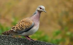 European Turtle Dove (Streptopelia turtur) - Turturica